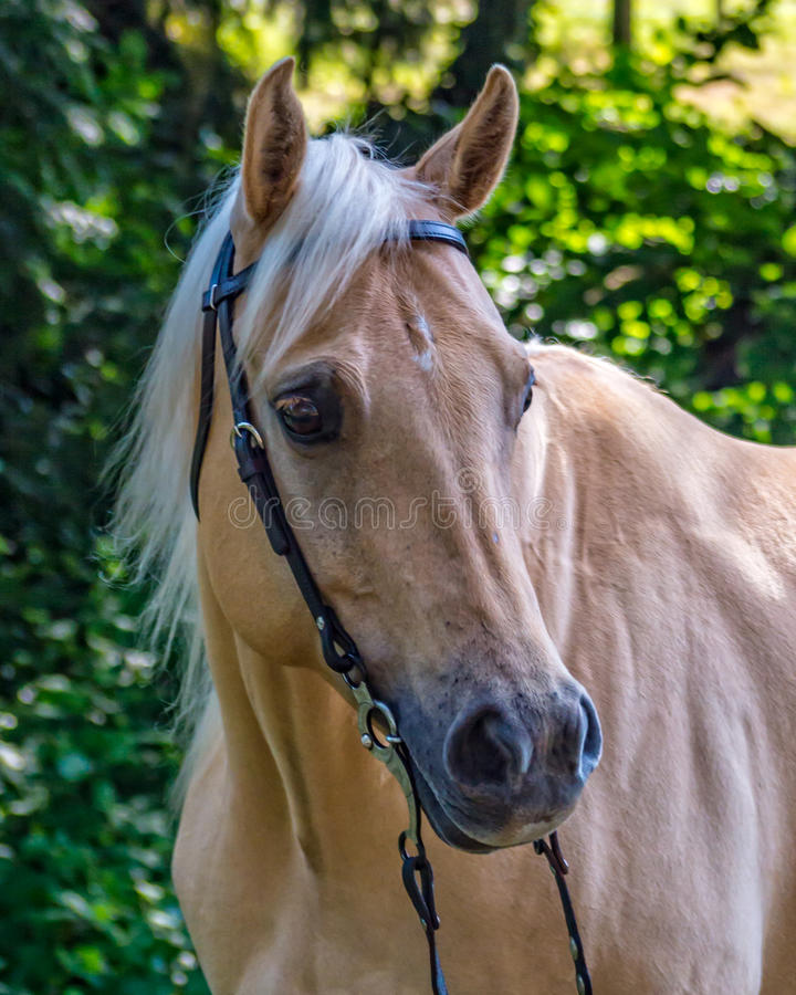 Yegua hermosa del caballo del cuarto del Palomino fotografía de archivo