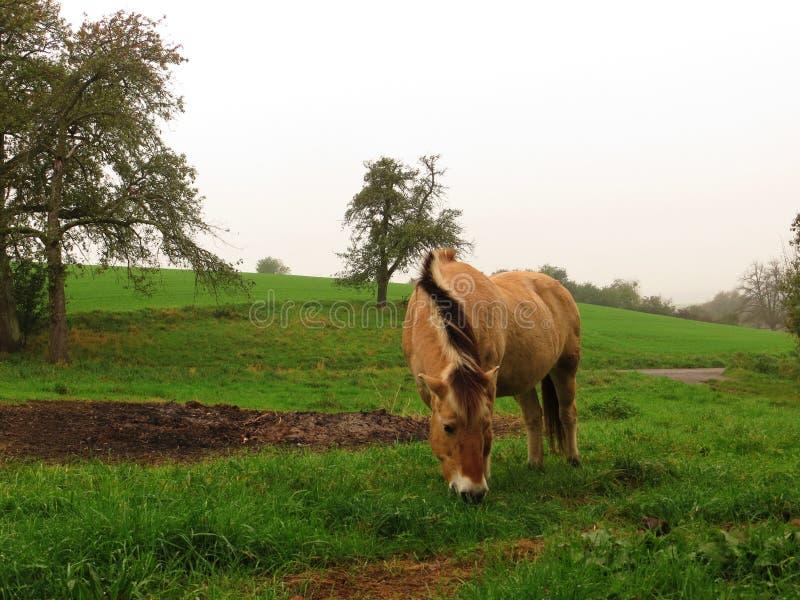 Yegua noruega del caballo imagenes de archivo