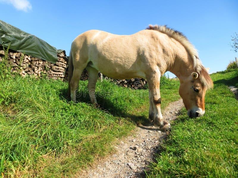 Yegua noruega que pasta en un camino fotografía de archivo