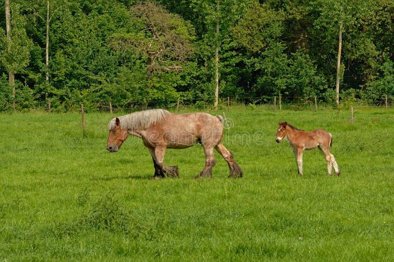 Yegua y potro de Brown que caminan en un prado verde soleado imágenes de archivo libres de regalías