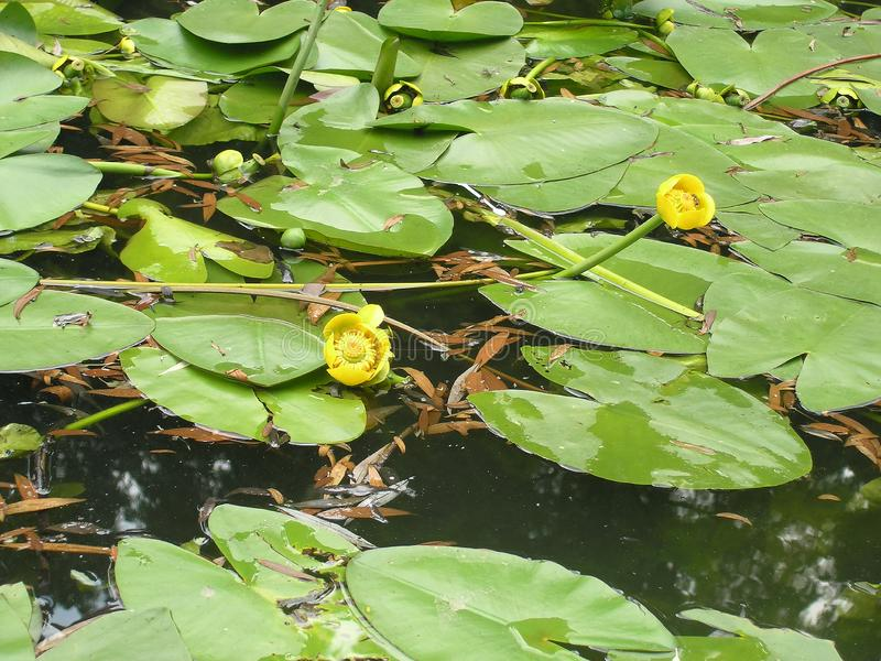 Yelow water lily in the pond. Yeliw yelow water lily pond royalty free stock photography