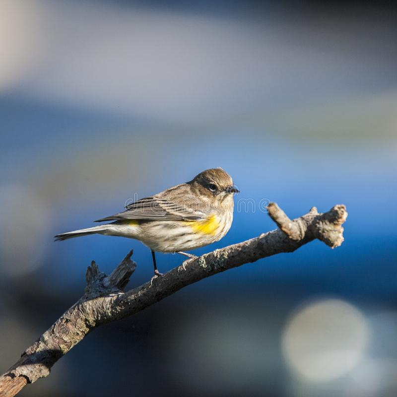 Yelllow Rumped Warbler obrazy stock