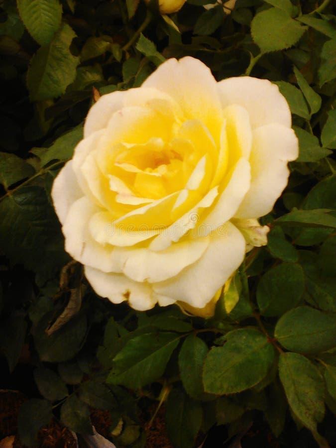 Yello Rose stock photography