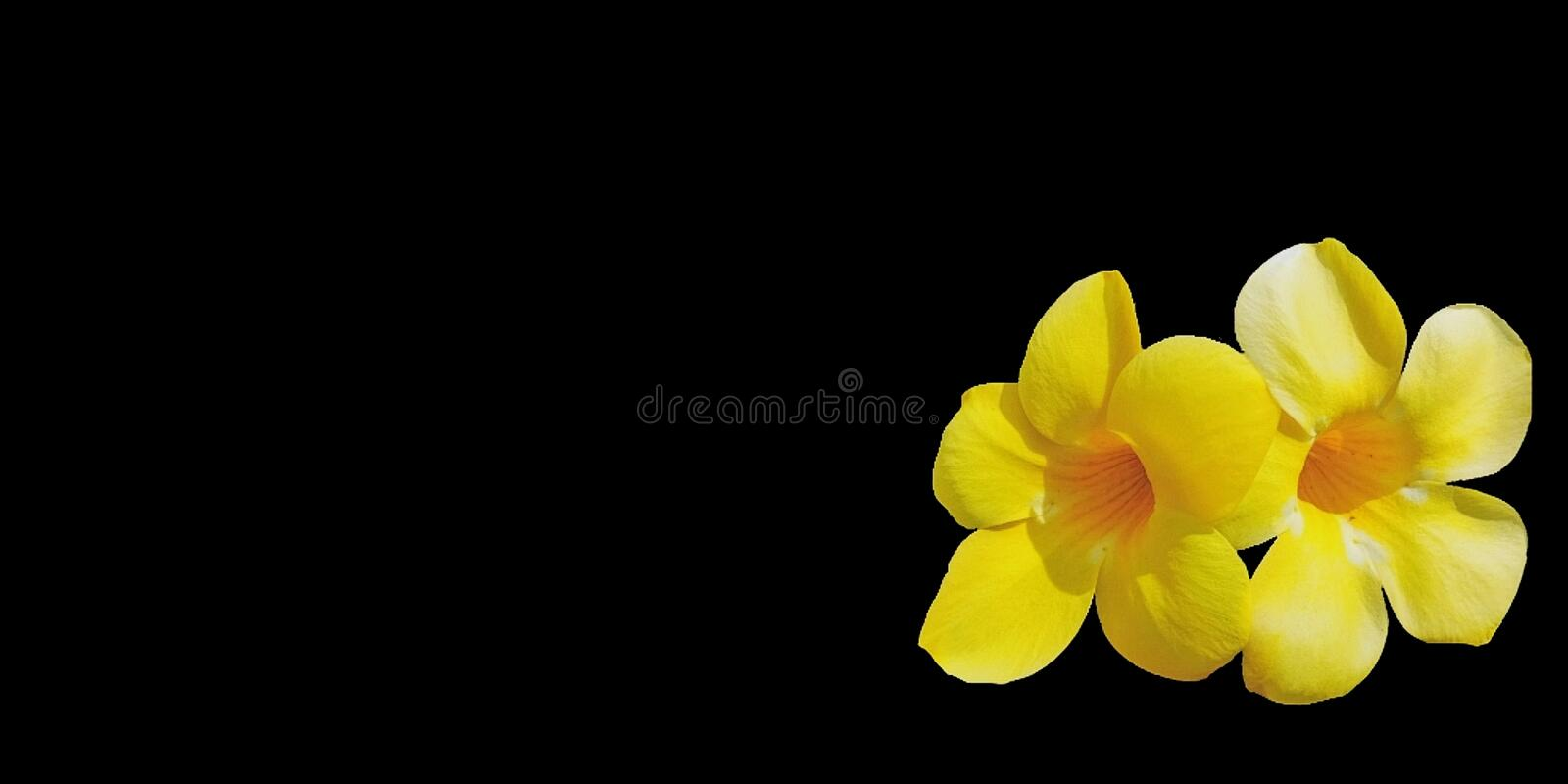 Yellow​ flowers on black background. stock image