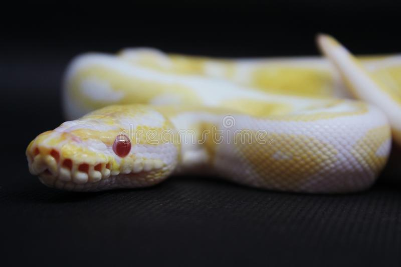 Yellow albino snake on black Background royalty free stock photography