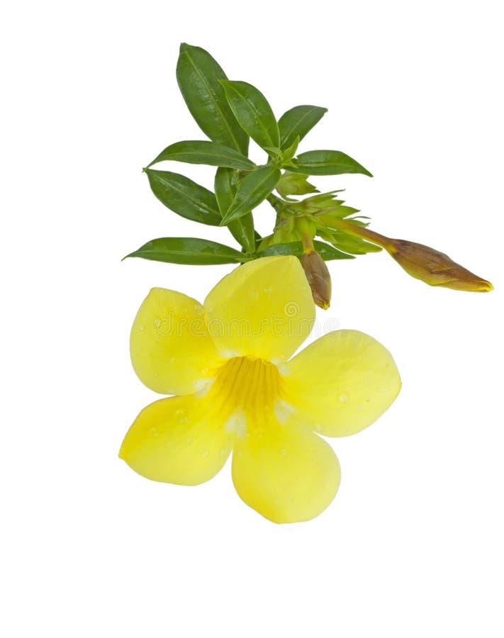 Yellow Allamanda Cathartic Flower Stock Image