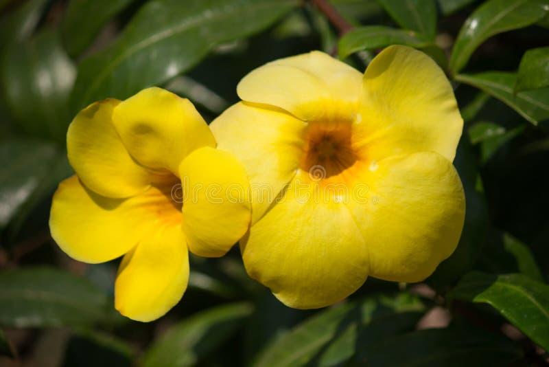 Yellow Allamanda cathartica flower in nature garden royalty free stock photos