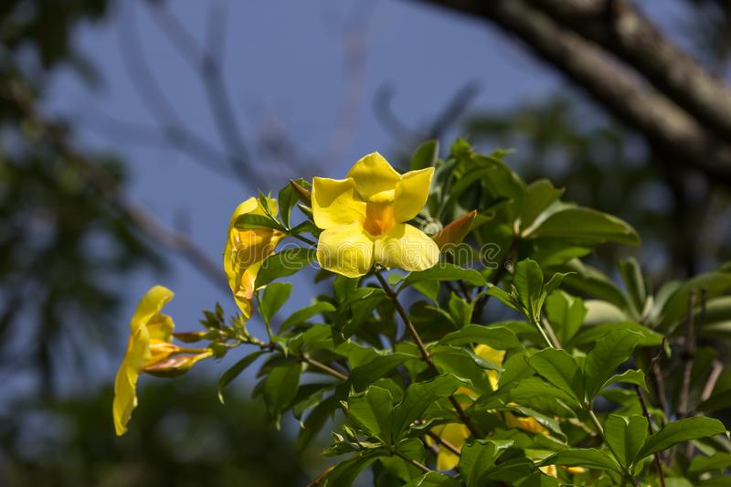 Yellow Allamanda flower  with green leaf stock photos
