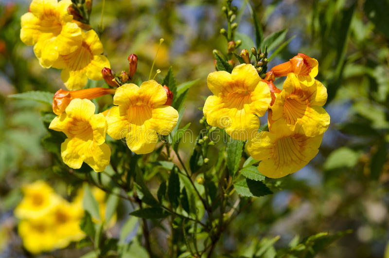 Yellow Allamanda Flowers stock photo