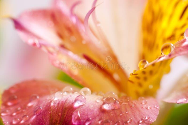 Yellow Alstroemeria closeup royalty free stock photo