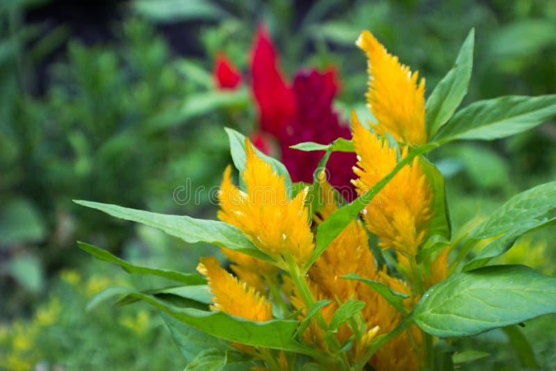 Yellow amaranthus stock photography