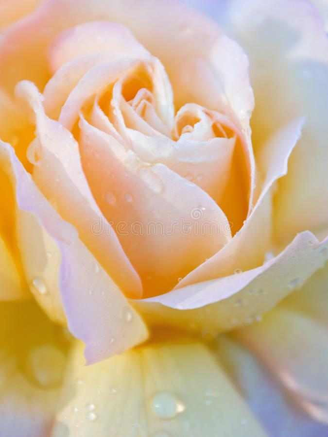 Beautiful amber yellow single rose with water drops. Petals close-up royalty free stock image