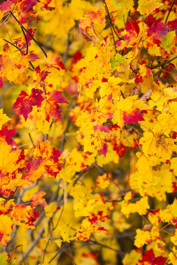 Free Yellow And Red Autumn Maple Leaves Royalty Free Stock Images - 104100479