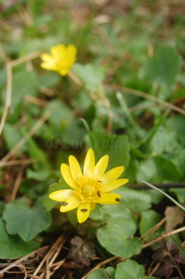 Yellow anemone royalty free stock image