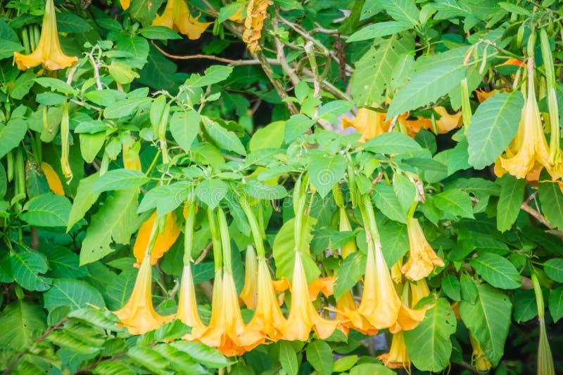 Yellow angels trumpet flowers brugmansia suaveolens on tree download yellow angels trumpet flowers brugmansia suaveolens on tree stock image image mightylinksfo