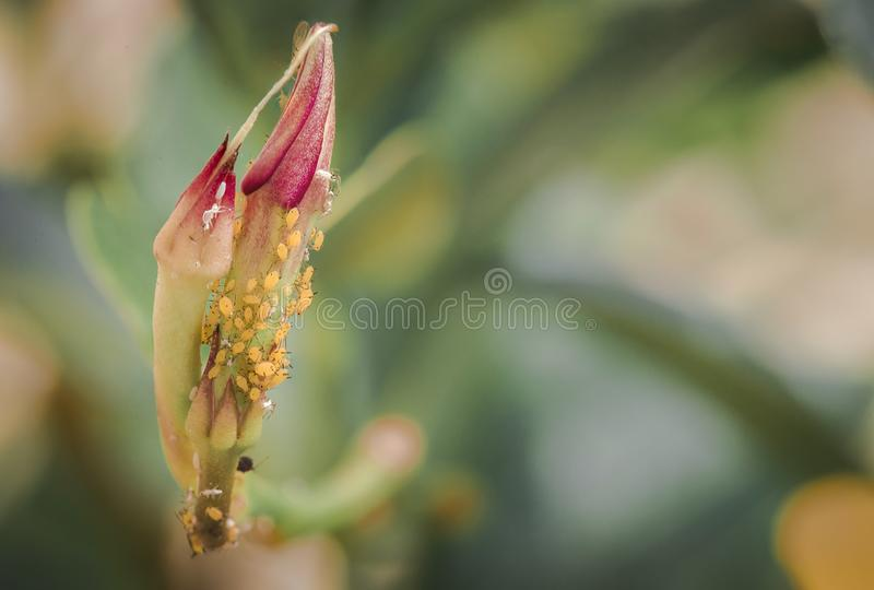 Yellow aphids on a flower royalty free stock image