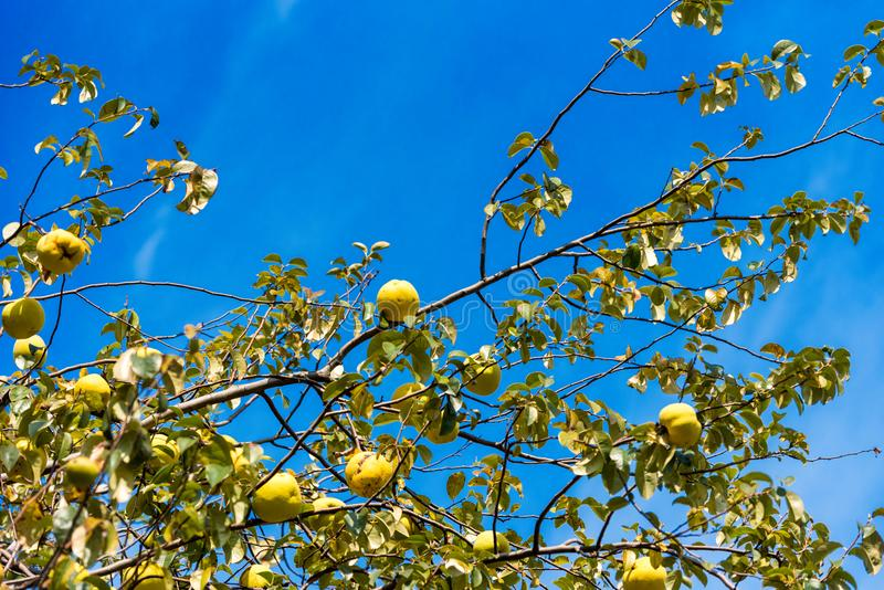 Yellow apples against the blue sky in Shinjuku park, Tokyo, Japan. Isolated on blue background. Yellow apples against the blue sky in Shinjuku park, Tokyo royalty free stock photo