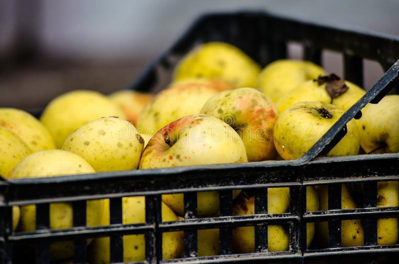 Yellow apples in plastic boxes. apple harvest. apples for food textures. many apples stock photos