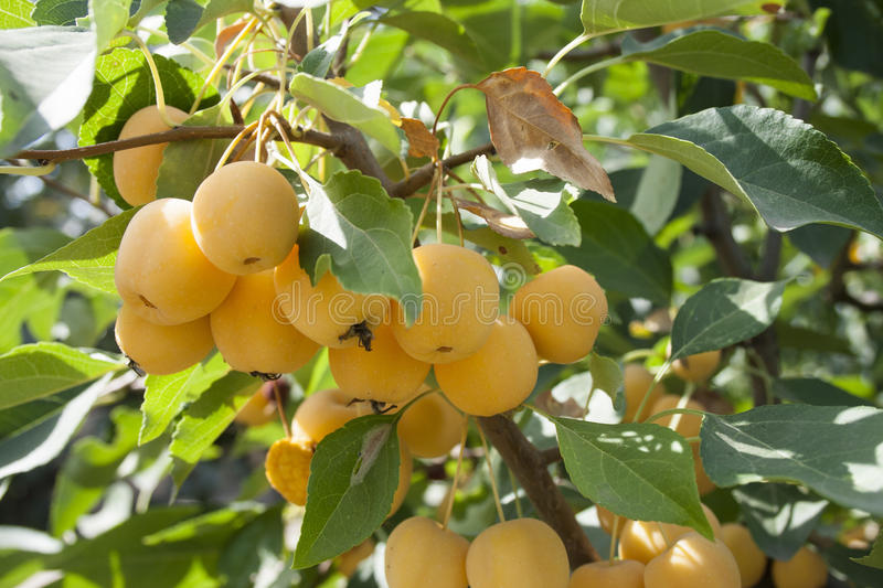 Yellow apples on a tree of paradise stock photography