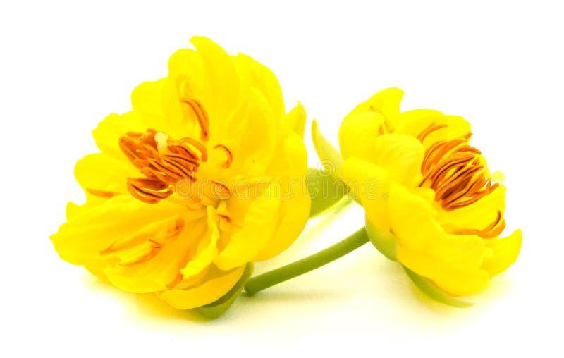 Yellow Apricot blossom closeup Hoa mai. Close, floral. Yellow Apricot blossom closeup isolated on white stock image