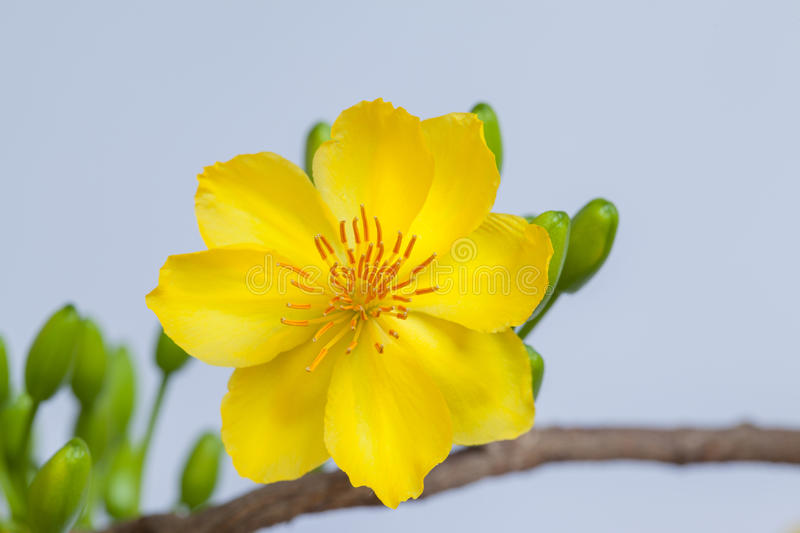 Yellow Apricot blossom closeup ( Hoa mai ). The flowers of traditional Vietnamese new year royalty free stock images