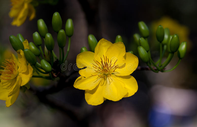 Download Yellow Apricot Blossom Closeup ( Hoa Mai ) Stock Image - Image of botanical, closeup: 72995969