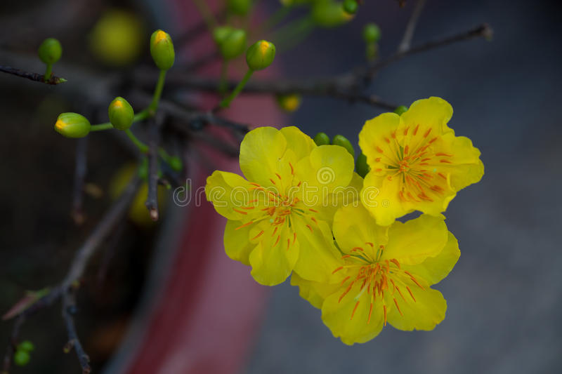 Download Yellow Apricot Blossom Closeup ( Hoa Mai ) Stock Image - Image of branch, fair: 72995971