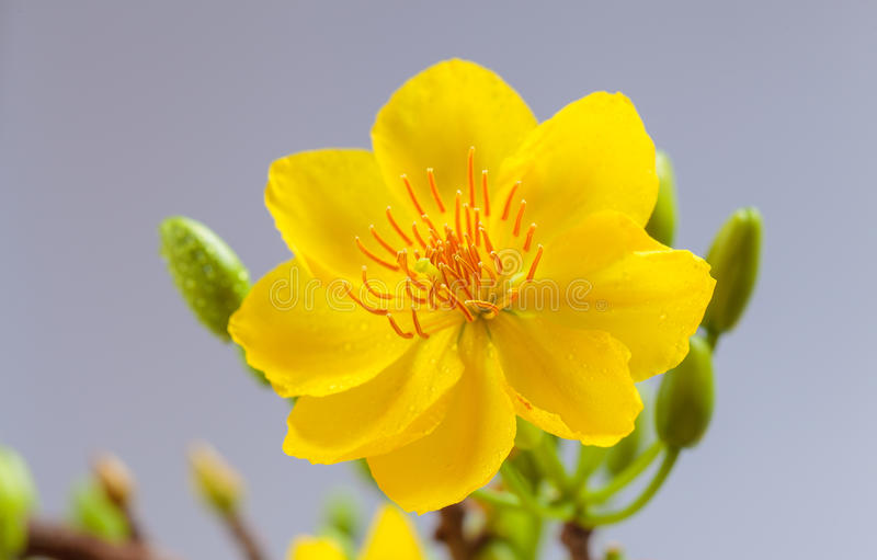 Download Yellow Apricot Blossom Closeup ( Hoa Mai ) Stock Photo - Image of delicate, asia: 72995988