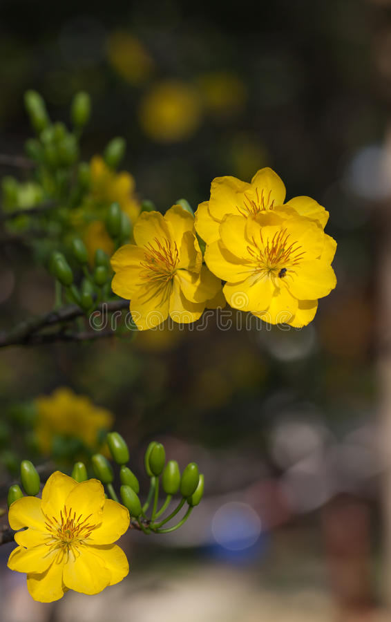 Yellow Apricot blossom closeup ( Hoa mai ). The flowers of traditional Vietnamese new year stock image