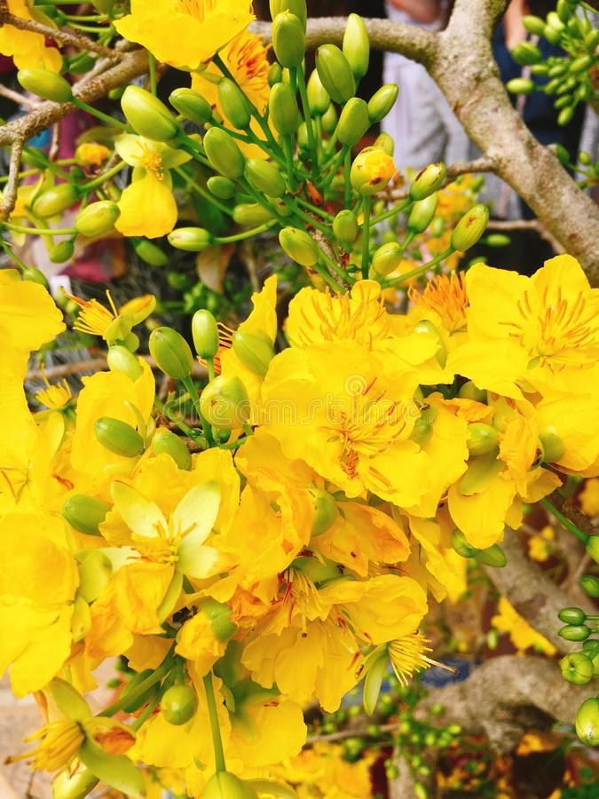 Yellow Apricot flower for Tet holiday in Vietnam.  royalty free stock photo