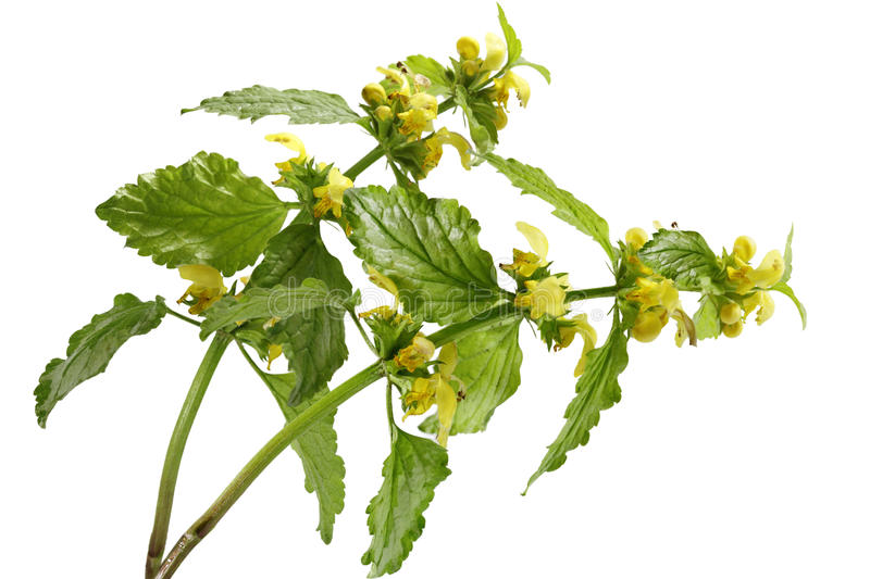 Yellow Archangel Flower stock images