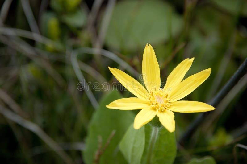 Yellow Arnica Flower royalty free stock photos