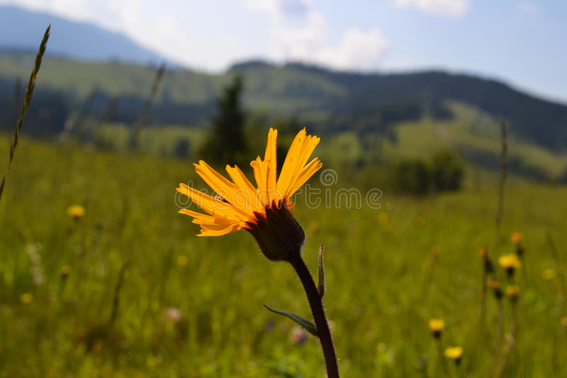 Yellow Arnica montana. A lonely yellow Arnica montana flower grows on a background mountains stock photos