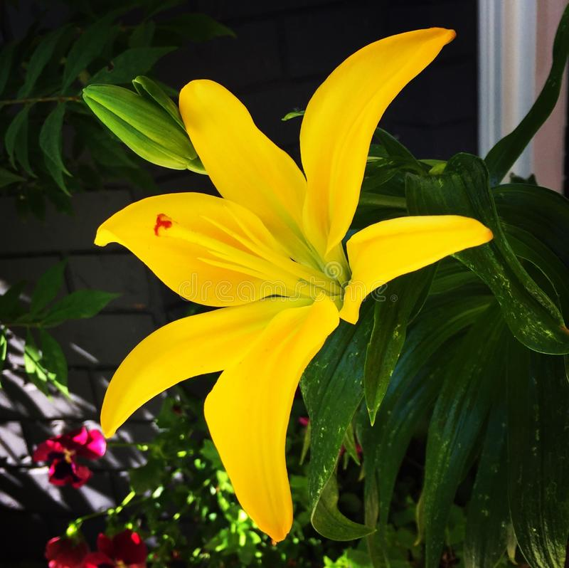 Yellow artistic lily royalty free stock image