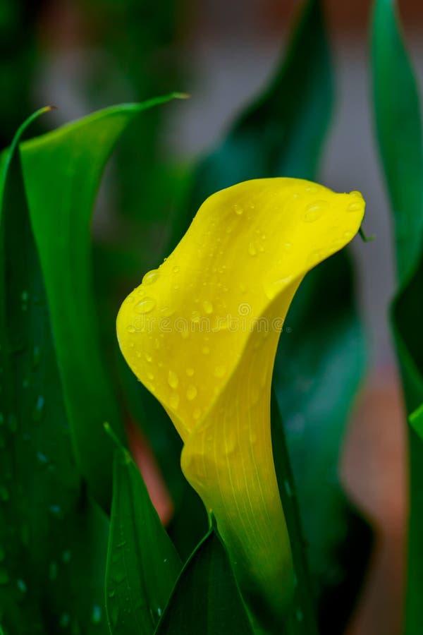 Yellow Arum Lily - Zantedeschia elliottiana stock image