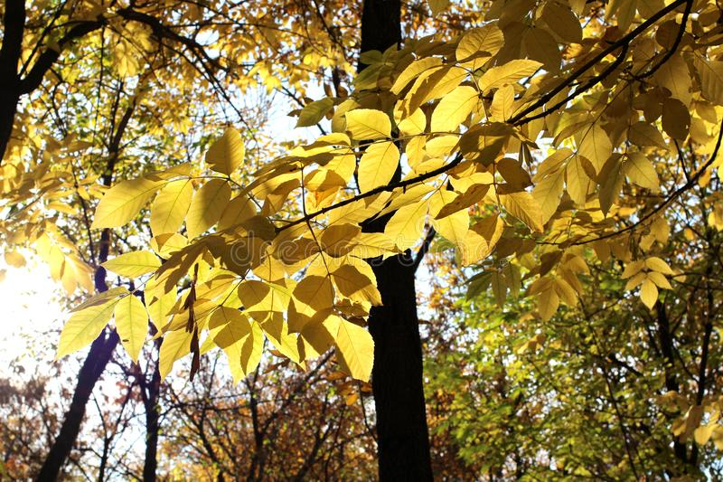 Yellow ash transparent autumn Russian forest leaves against bright blue sky clear day royalty free stock image