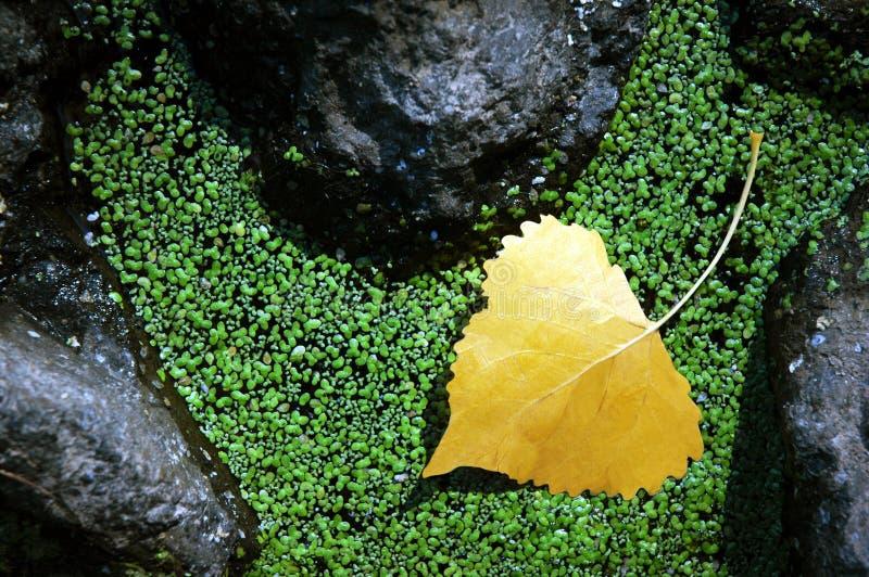 Yellow Aspen Leaf stock photo