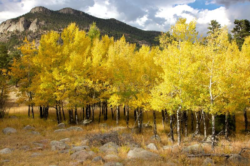 Yellow Aspen Trees. Wonderful yellow Aspen trees show off their brilliant color in the Rocky Mountain National Park royalty free stock image