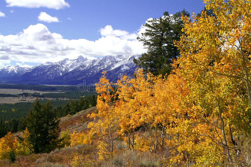 Yellow Aspen Trees above Valley. Yellow Aspen trees in autumn over Jackson Hole Valley royalty free stock images