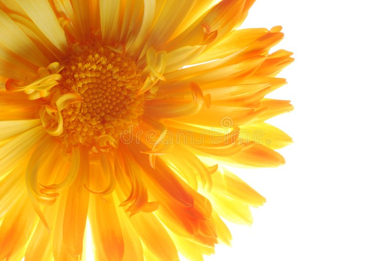Yellow aster royalty free stock photography