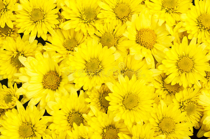 Yellow aster flower for background stock image