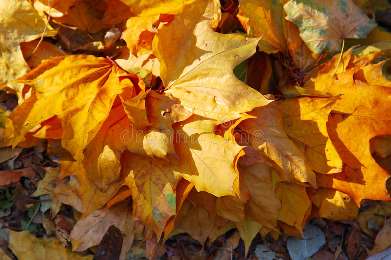 Yellow atumn leaves in the park stock photos
