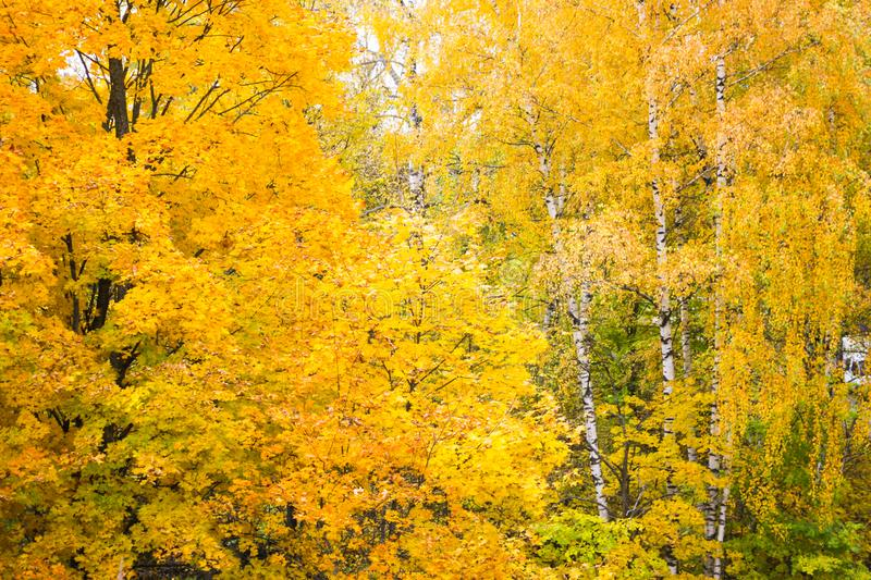 Yellow autumn birch and maple trees in the forest stock image