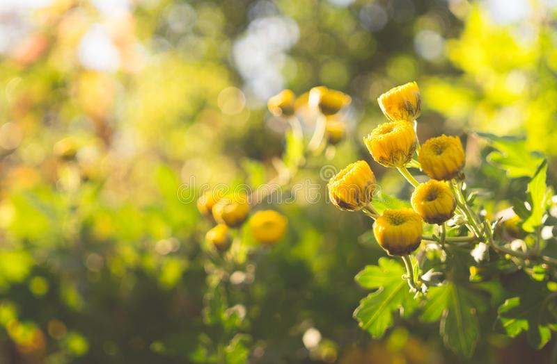 Yellow autumn chrysanthemum in a sunny garden royalty free stock images