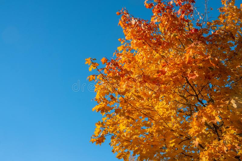 Yellow autumn colors of foliage. A branch with yellow leaves against a blue cloudless sky. Copy space. Background stock photo
