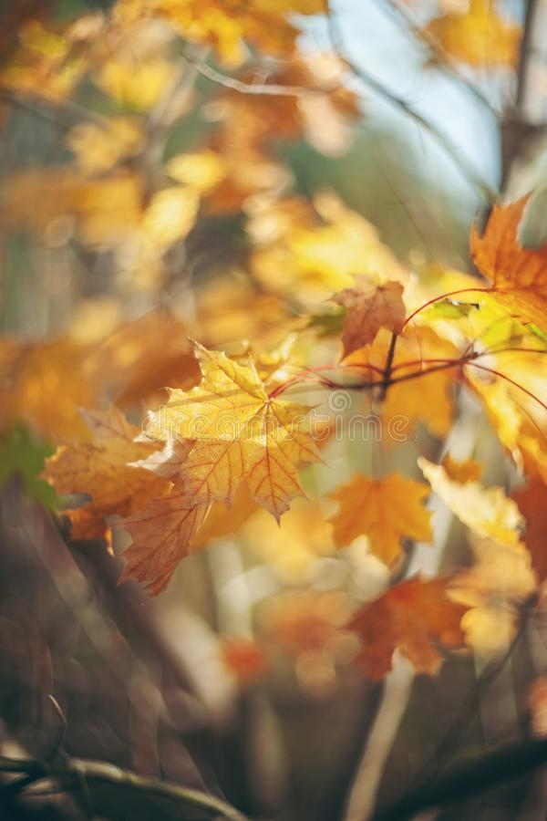 Yellow autumn colors of foliage. Branch with yellow leaves on a blurred background. Copy space. Background. Blur.  stock photo
