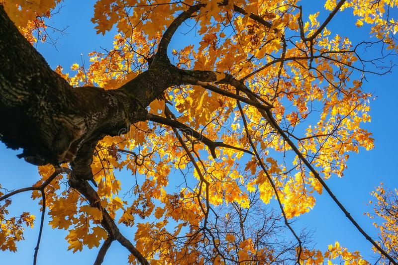 Yellow autumn colors of foliage. A branch with yellow leaves against a blue cloudless sky. Background royalty free stock photo