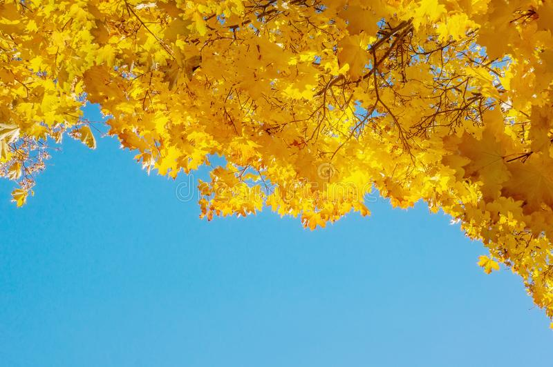Yellow autumn colors of foliage. A branch with yellow leaves against a blue cloudless sky. Copy space. Background royalty free stock images