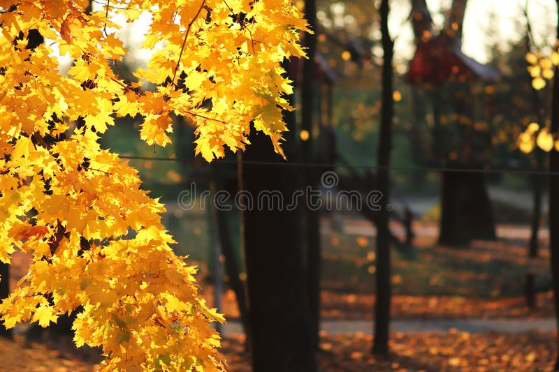 Yellow autumn foliage in the park in the rays of sunlight. Yellowed maple leaves. Hot colors of autumn trees. Place for copy space stock photography