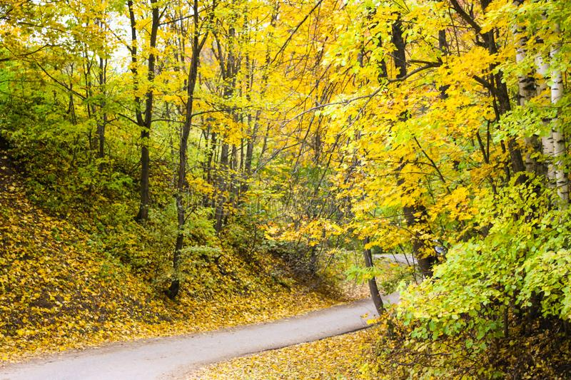 Yellow autumn forest. Gorokhovets royalty free stock photography